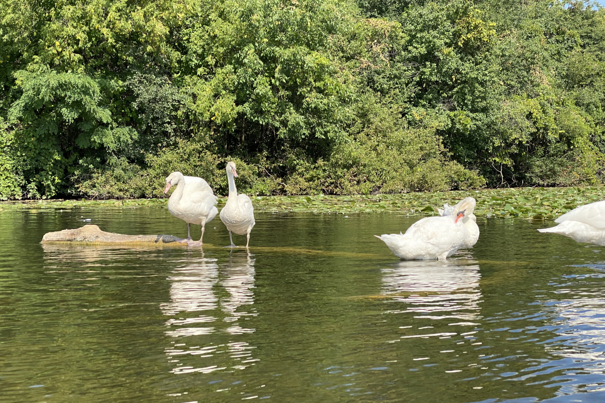 Swans in Gallup Pond